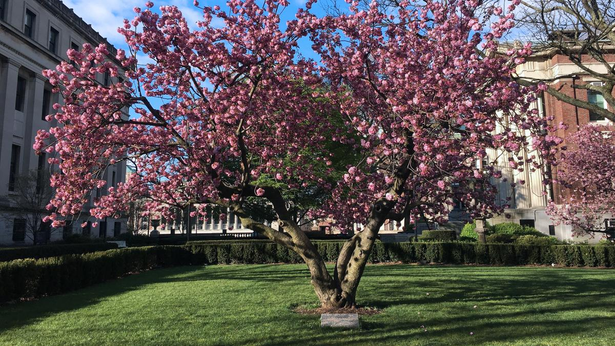 A pink cherry tree by the Mathematics Building